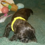 Tank n Cheyennes Yellow Collar Female new born _20170412_130